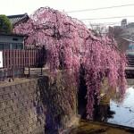 お花見2013(仙台市若林区編)