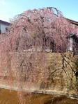 お花見2014(石橋屋の枝垂れ桜)