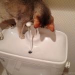 水洗トイレが気になる猫