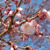 仙台の桜、間もなく開花
