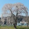 仙台市保存樹木の桜たち